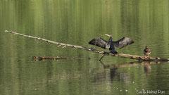 Kormoran breitet seine Flügel zum Trocknen aus
