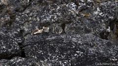 Polarfuchs, Weibchen ruhend auf Felsen