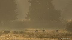 Wildschweine queren Wasser im goldfarbenen Nebel des anbrechenden Tages