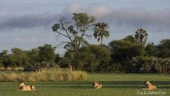 Löwen im Mahango NP