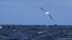 Königsalbatros fliegend über dem Südpolarmer