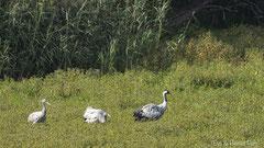 Kranich Alttier mit zwei Jungvögel auf Nahrungssuche