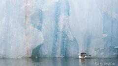 Sturmmöwe vor blauer Eiswand