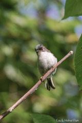Junge Schwanzmeise - erste Landung nach dem Flug aus dem Nest