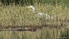 Nutria Weibchen schwimmt vor Silberreiher
