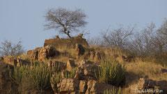 Leopardin mit fast erwachsenem Jungtier