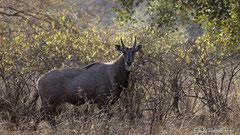 Nilgauantilope, Männchen