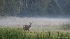 Hirschkuh vor dem zarten Morgennebel im Schilfgürtel