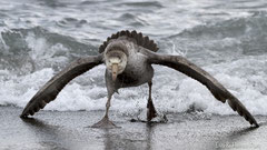 Südlicher Riesensturmvogel in Drohstellung