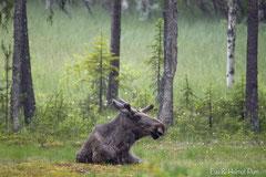Elchbulle im Regen ruhend