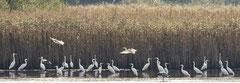 Silberreiher sammeln sich am Schilfrand