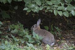 Kaninchen am Waldrand