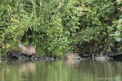 Nutria Jungtiere im Uferbereich