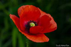 Klatschmohn Blüte