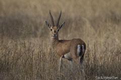 Indische Gazelle
