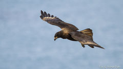 Falklandkarakara im Flug