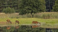 Hirschkuh mit zwei Kälbern mit Spiegelbild