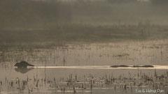 Waschbärin mit ihren Jungtieren quert das Wasser im Morgengrauen