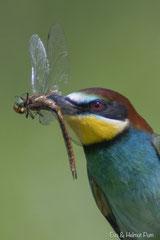 Bienenfresser Portrait - mit Libelle