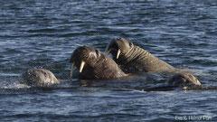 Walross Weibchen schwimmend