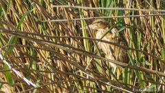 Zwergdommel Jungvogel gut getarnt im Schilf