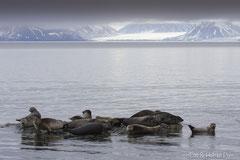 Seehunde ruhend auf Steinen in Ufernähe
