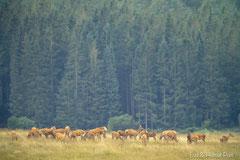 Hirschkühe mit ihren Kälbern äsen auf der Wiese