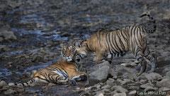 Bengaltigerin mit fast erwachsenem Jungtier