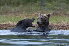 Braunbären spielen im Wasser
