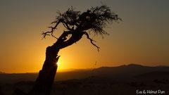 Alter Kameldornbaum und Sonnenuntergang