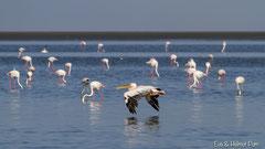 Rosapelikan und Flamingos in der Lagune