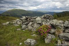 Blühender Almrausch im Gebirge