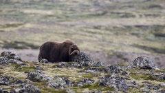 Moschusochse im Hochfjell