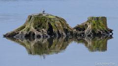 Bachstelze auf Baumstrunk im Wasser