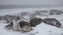 See-Elefanten Kolonie im Schneesturm, Weibchen mit Jungtieren