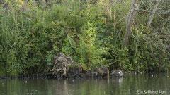 Nutria Weibchen mit Jungtieren am Ufer