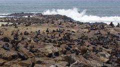 Pelzrobben Kolonie an der Küste
