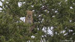Leopard in der Baumkrone