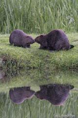 Biber Weibchen mit Jungtier am Ufer mit Spiegelbild