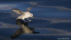 Eissturmvogel landet