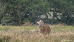 Hirsch flehmend - er nimmt den Geruch einer brunftigen Hirschkuh auf