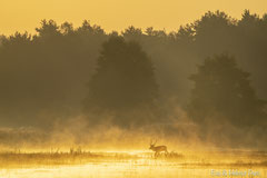 Rothirsch im goldfarbenen Nebel der ersten Sonnenstrahlen