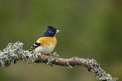 Bergfink Männchen im Brutkleid