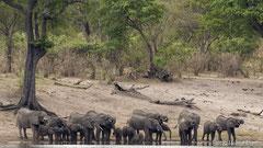 Elefantenherde beim Trinken