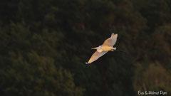 Silberreiher fliegt im warmen Abendlicht