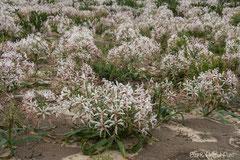 Guernseylilien oder Nerinen (Nerine)