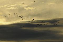 GRUES CENDREES © E . LAUCHER