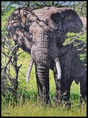 """"""" SAVANNAH BIG EARS """"   Acrylic Painting on Canvas   89 x 116 cm"""