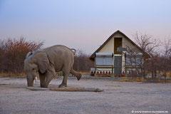 So elegant kann ein Elefant trinken!...