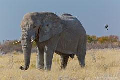 Dieser Elefant wollte uns nun überhaupt nicht vorbei lassen. Das austretende Sekret an  der Schläfe ist schon ein Hinweis auf die erregte Gefühlslage des alten Bullen!